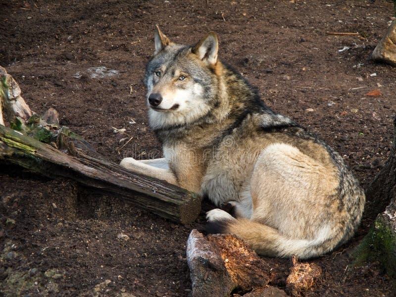 волк волчанки canis серый стоковое фото rf