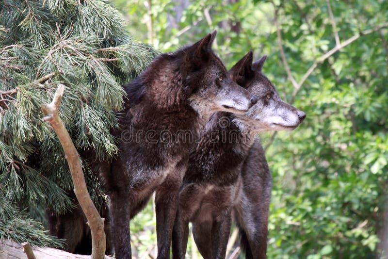волк волчанки canis стоковое изображение rf