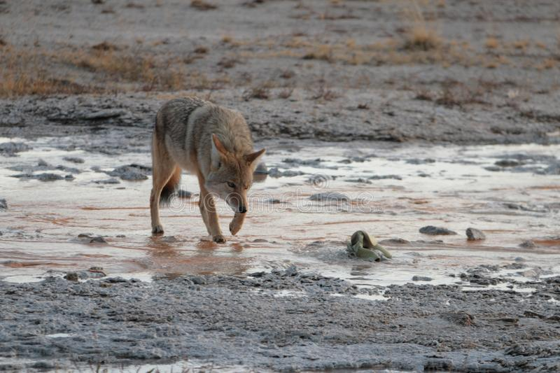 Волк в национальном парке Йеллоустона стоковые фотографии rf