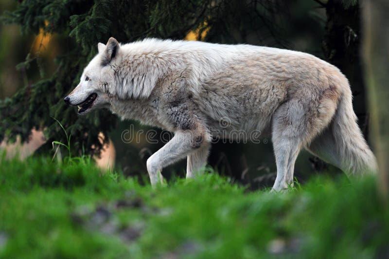 волк звероловства стоковое изображение rf