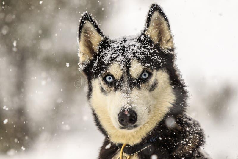 Волк под порошком стоковая фотография