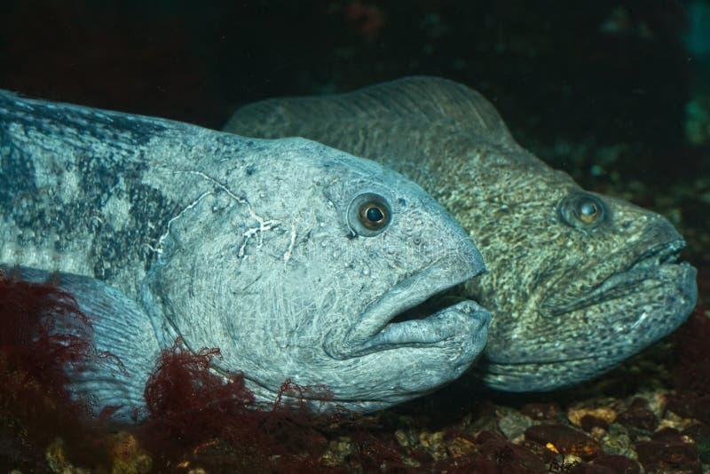 волк рыб стоковое фото