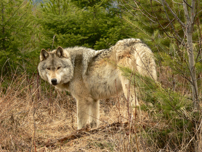 волк тимберса стоковое фото
