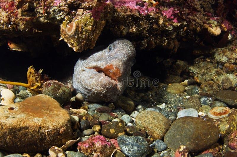 волк eel стоковое изображение