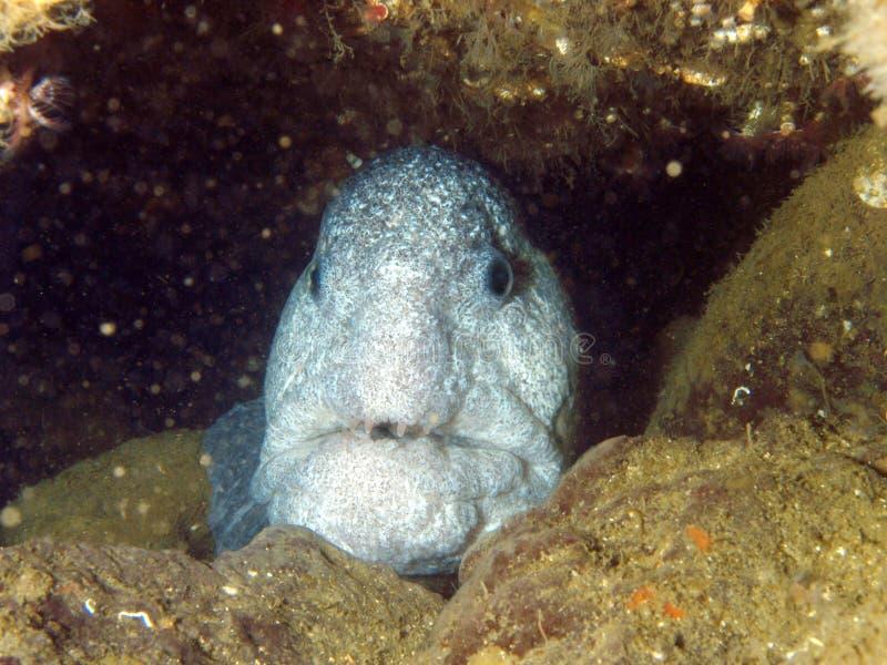 волк eel стоковая фотография