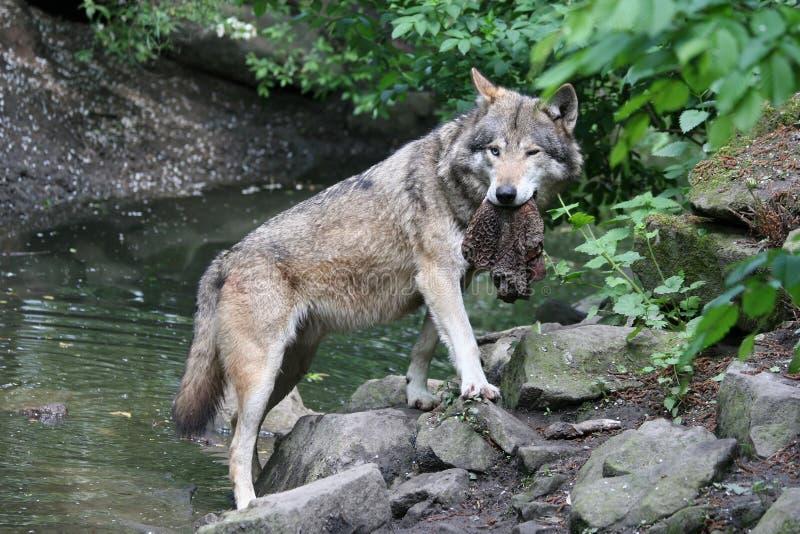 волк prey стоковые фото