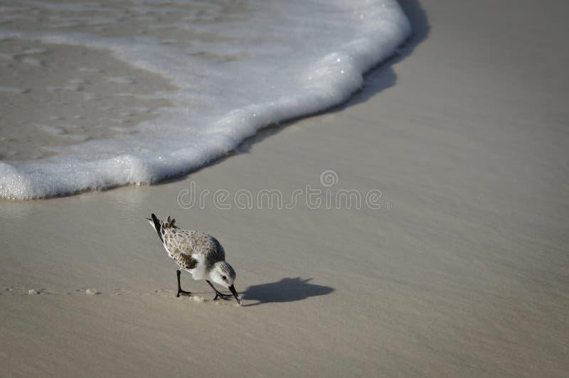 волна берега sandpiper стоковое фото rf