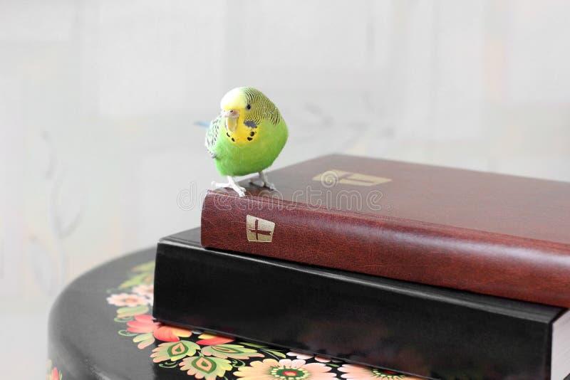 Волнистый попугай сидит на библии стоковые изображения rf