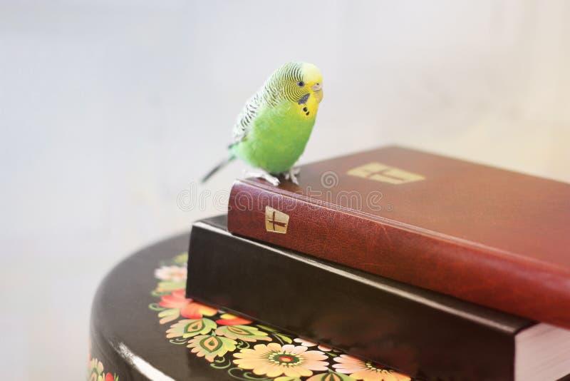 Волнистый попугай сидит на библии стоковая фотография