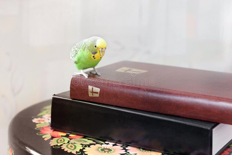 Волнистый попугай сидит на библии стоковое фото rf