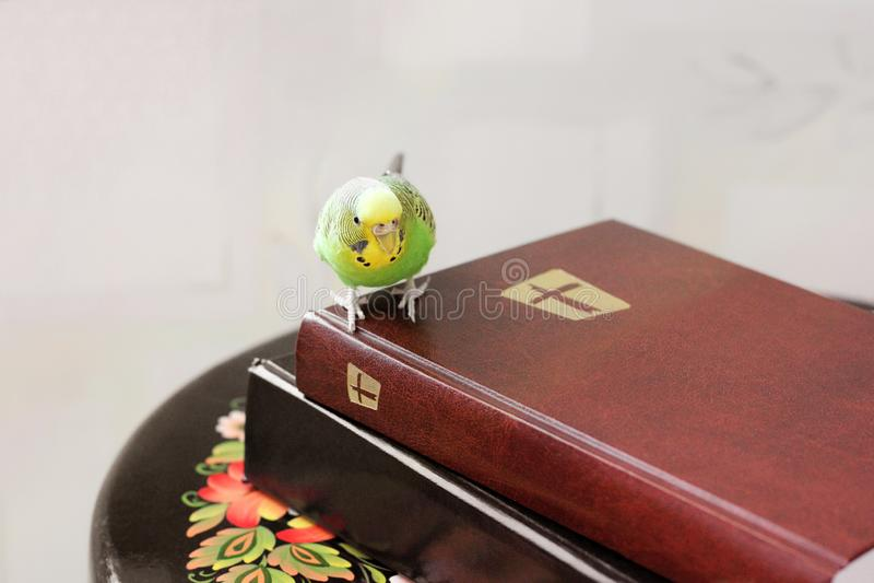 Волнистый попугай сидит на библии стоковые фото