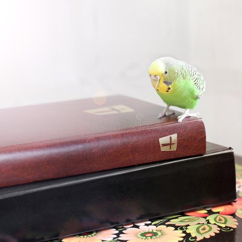 Волнистый попугай сидит на библии стоковое изображение rf