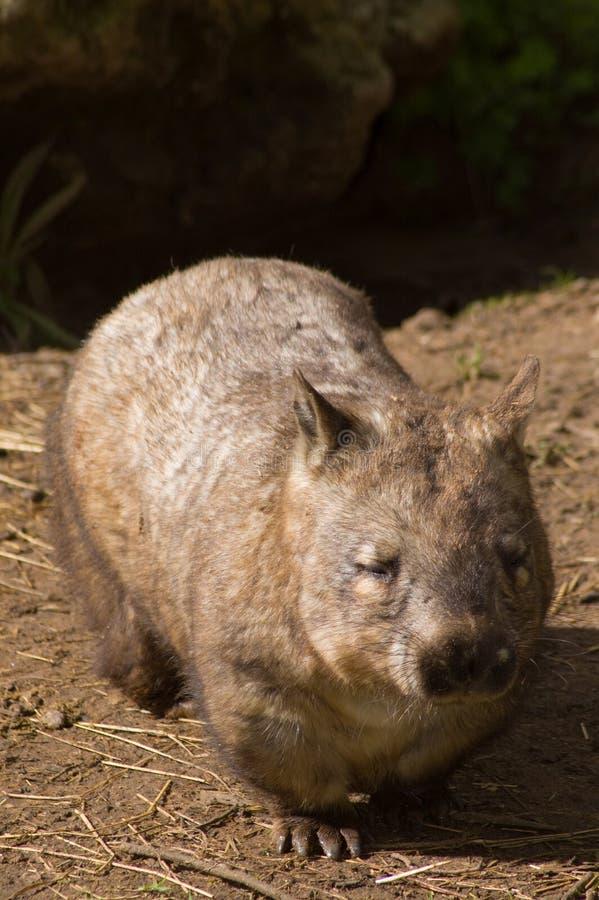 волосато созрейте обнюханное wombat стоковое изображение