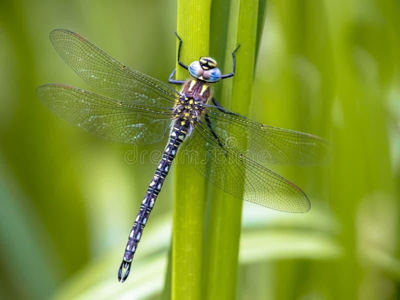 Волосатый dragonfly стоковое изображение