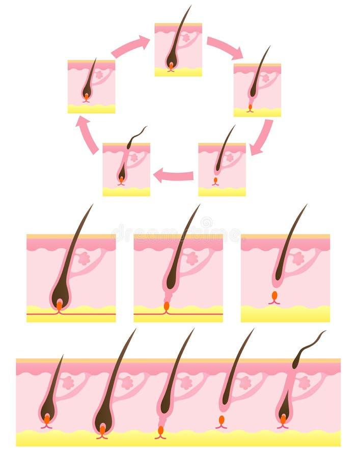 волосы цикла иллюстрация штока