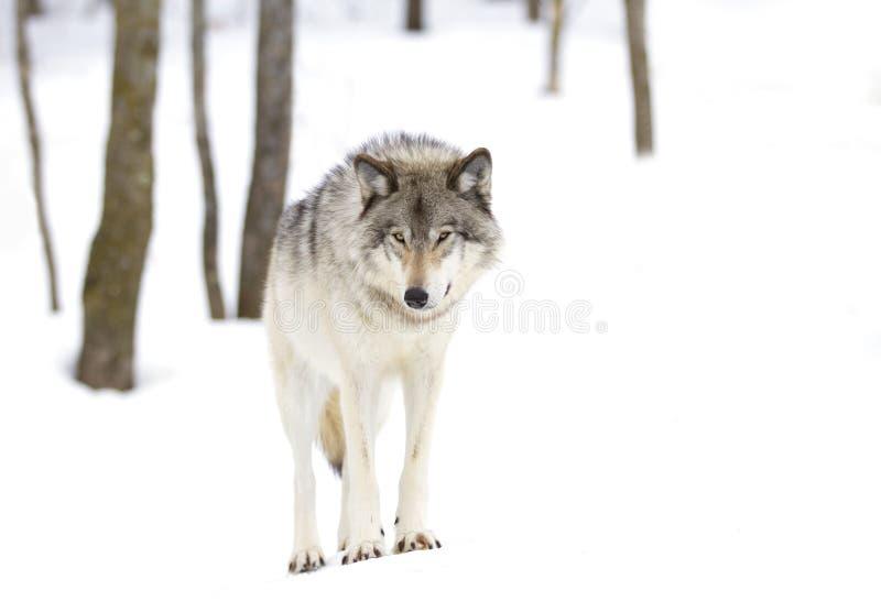 Download Волчанка волка волка тимберса стоя в снеге зимы Стоковое Изображение - изображение: 104993605