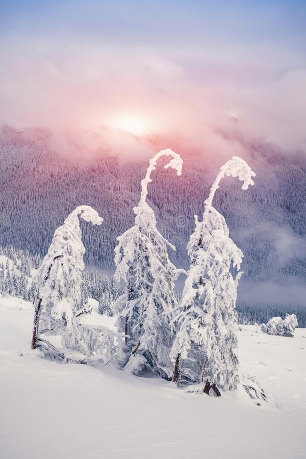 Волшебные ели покрытые снегом в горах стоковая фотография