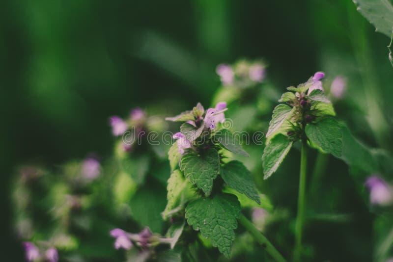Волшебный цветок крапивы и зеленые листья стоковая фотография rf
