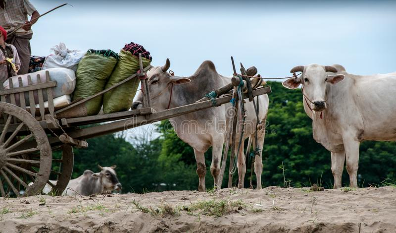 Волы на банках реки Irrawaddy стоковые изображения rf