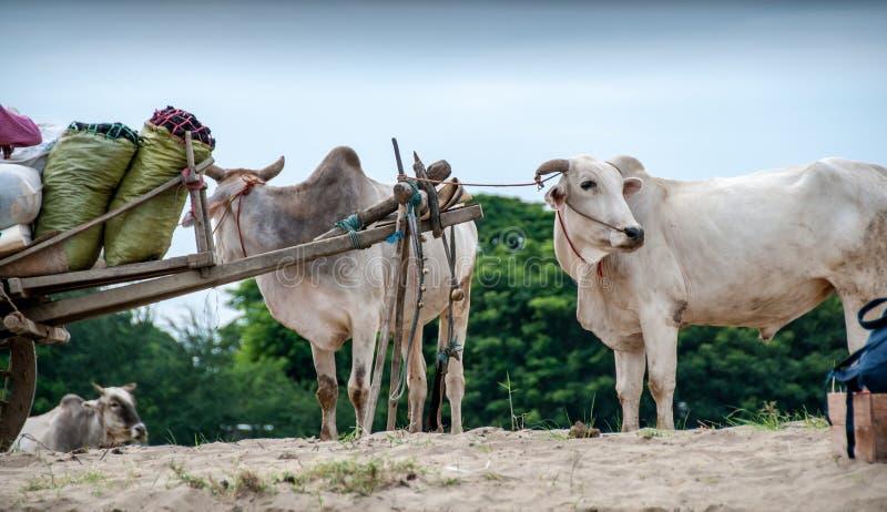 Волы на банке реки Irrawaddy стоковая фотография rf