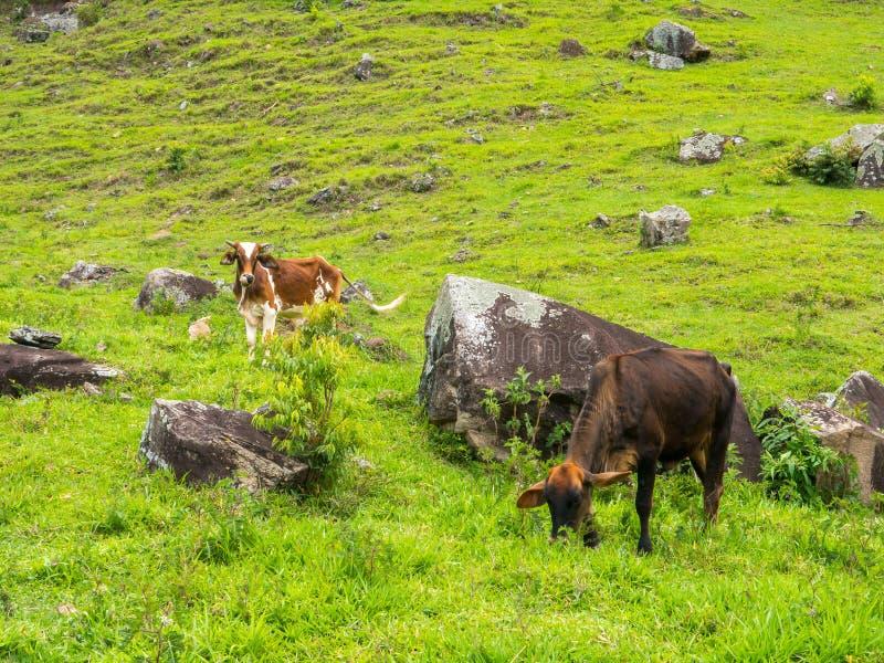 Волы на зеленом выгоне - поголовье быков - поднимать скотин стоковая фотография