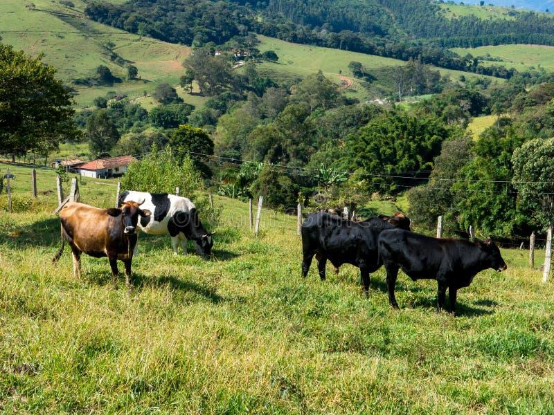 Волы на зеленом поголовье быков выгона - поднимать скотин стоковая фотография