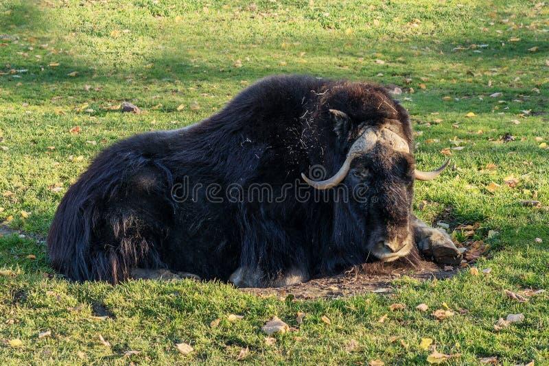 Вол мускуса Иван лежа на зеленой траве стоковая фотография