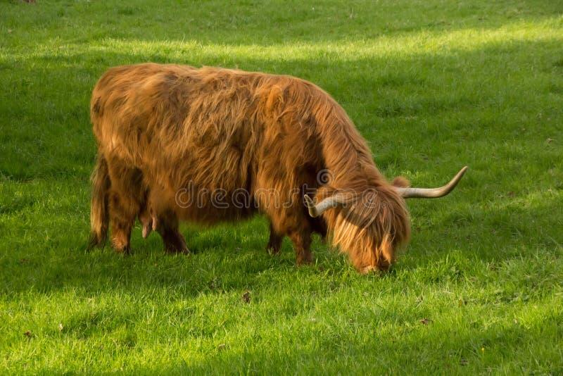 Воркует, шотландская корова, порода скотин гористой местности стоковая фотография