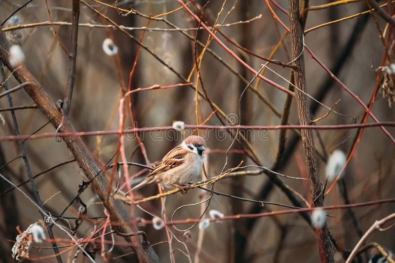 Воробей дома птенца птицы - пасующий Domesticus - сидя на сезоне дерева ветви весной Беларусь, белорусская природа стоковое фото