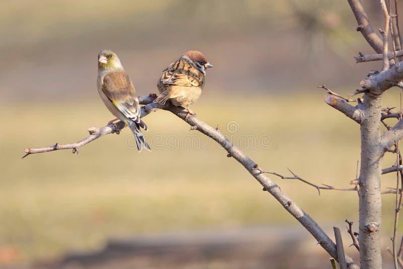 Воробей дерева и Oriental Greenfinch стоковые фотографии rf