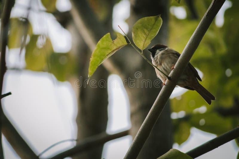 Воробей на дереве стоковая фотография rf