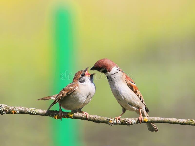Воробей птицы подает его маленький смешной голодный цыпленок с широким ope стоковая фотография