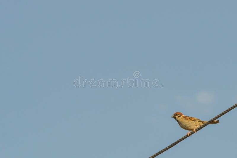Воробей сидя на веревочке стоковая фотография rf