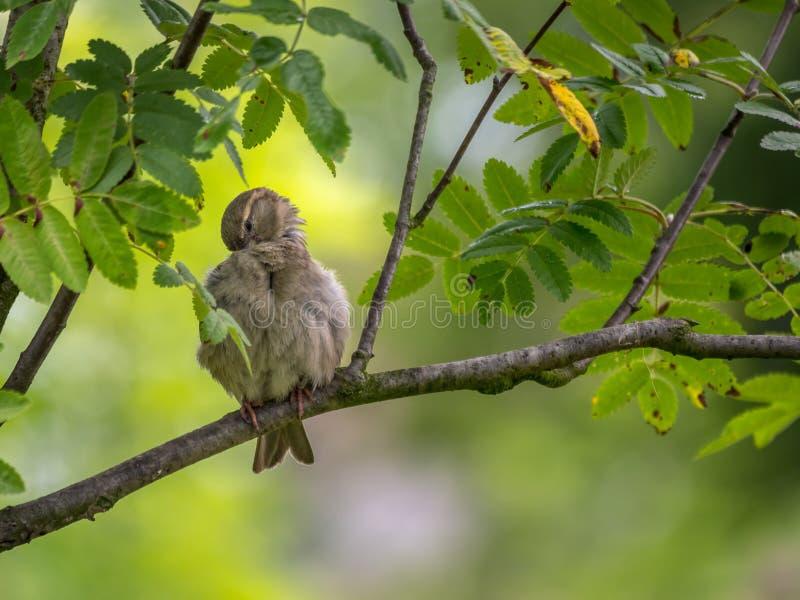 Воробей сидя на ветви дерева стоковая фотография
