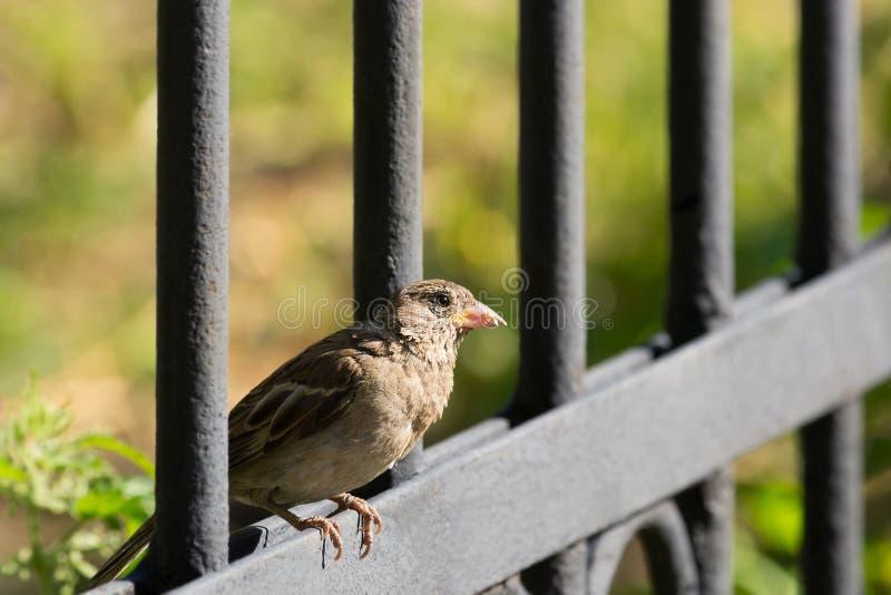 Воробей сидя на загородке, селективный фокус стоковая фотография rf