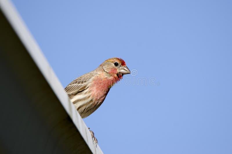 Воробьинообразная птица зяблика дома садилась на насест, Афины Georgia США стоковая фотография rf