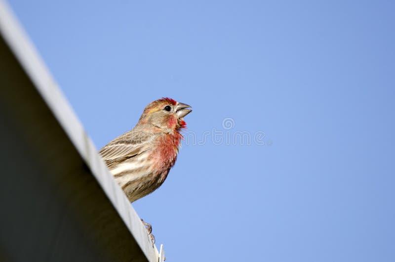 Воробьинообразная птица зяблика дома садилась на насест, Афины Georgia США стоковое фото
