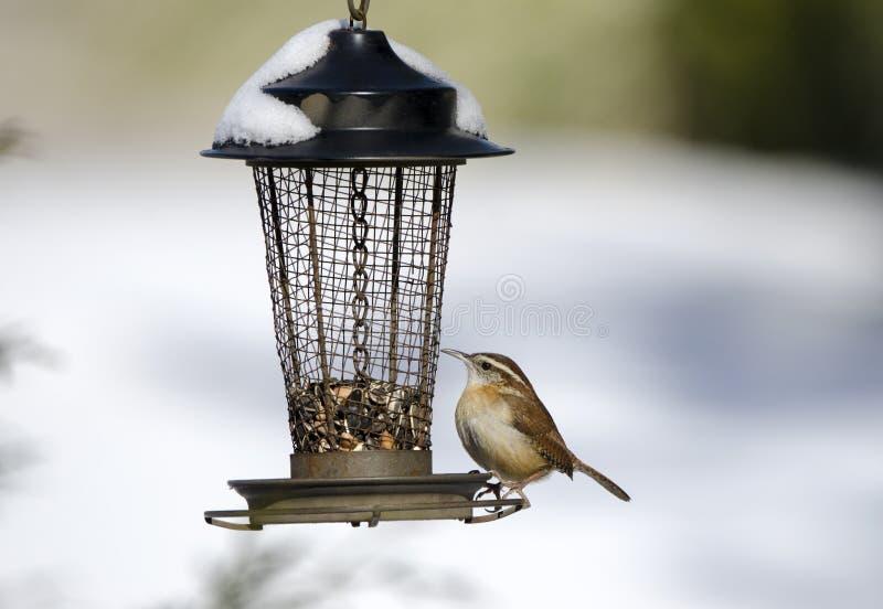 Воробьинообразная птица крапивниковые Каролины на снеге покрыла фидер семени птицы, Georgia, США стоковые фотографии rf