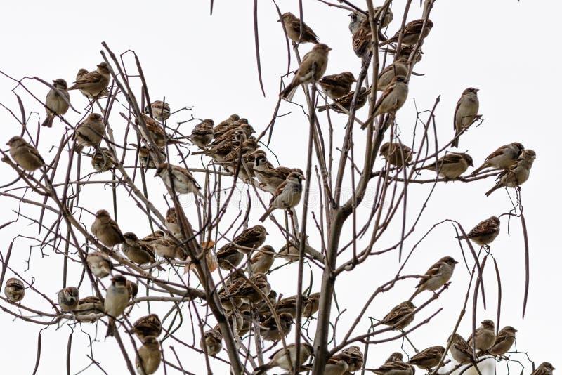 Воробьи изолированные на белой предпосылке Многочисленное isola воробьев стоковое фото rf