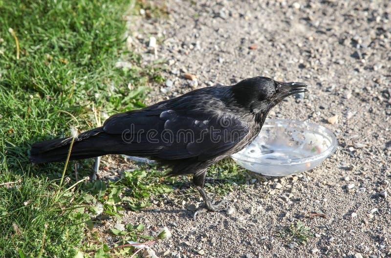 Ворона вытягивает еду из пластмасового контейнера стоковое изображение
