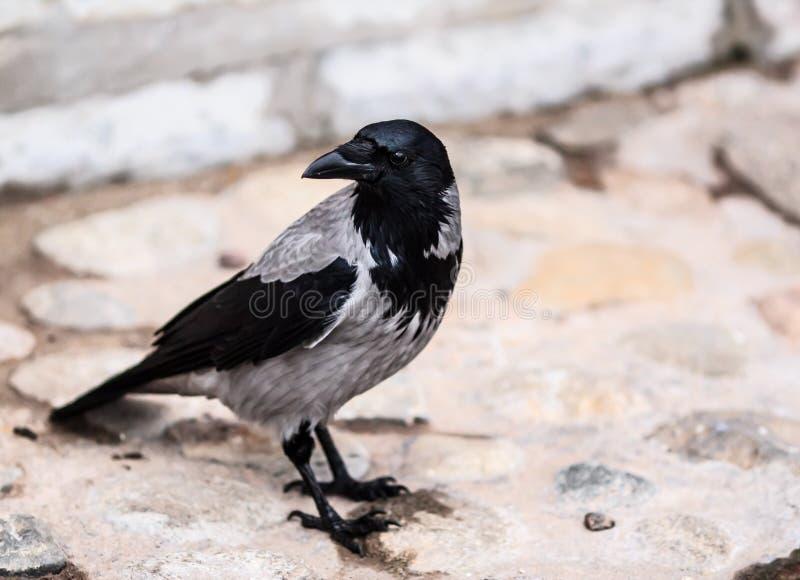 Ворона в городе стоковые изображения rf