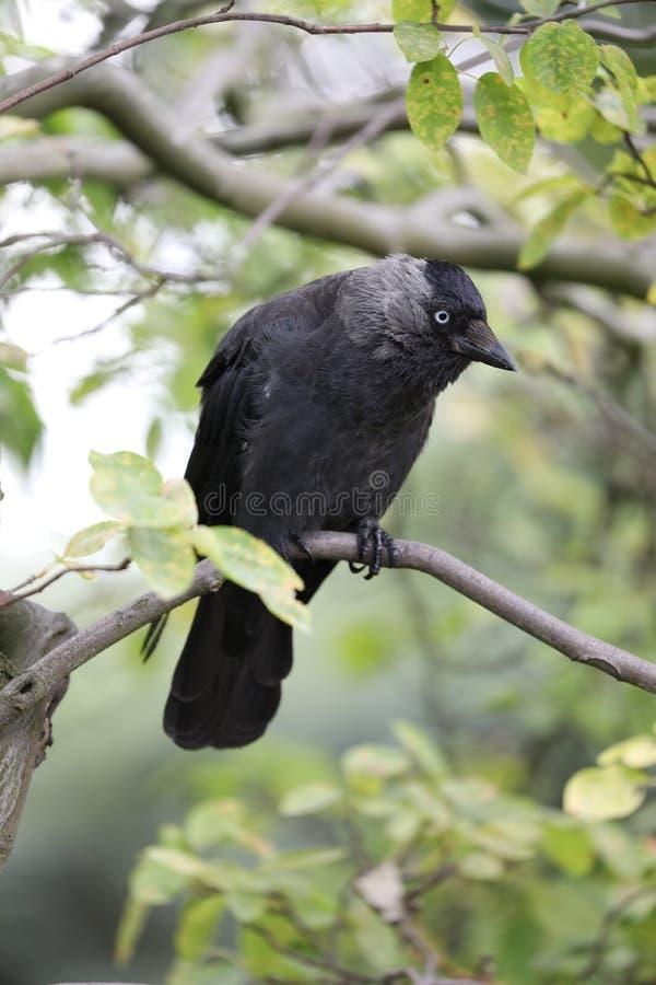 Ворона в дереве стоковое фото rf