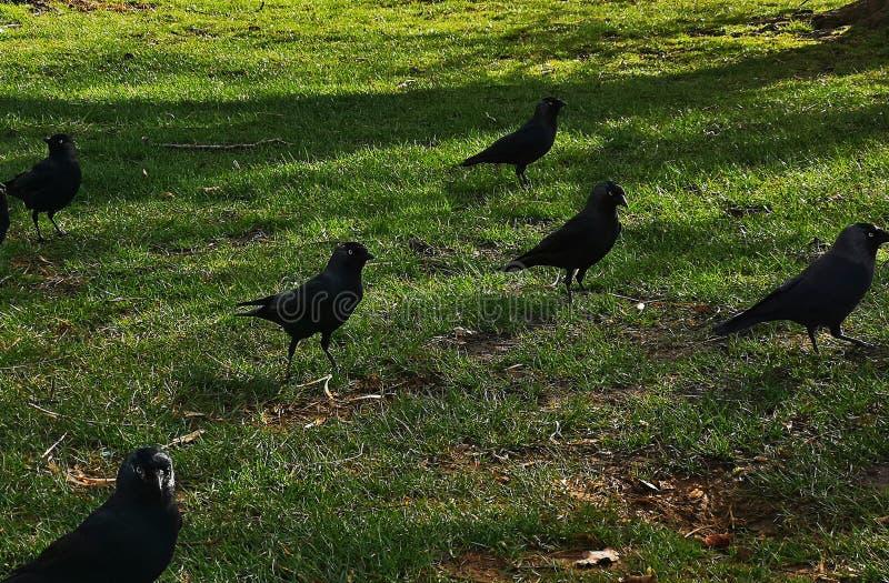 Ворона в парке Ричмонда стоковая фотография rf