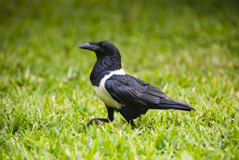 Ворона в траве стоковая фотография rf