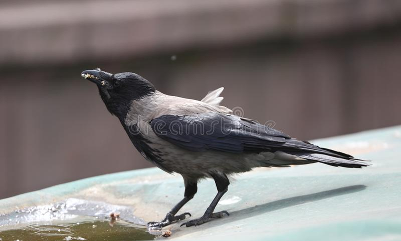 Ворона города стоковая фотография