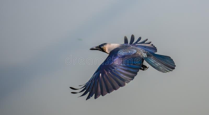 Ворона дома стоковая фотография rf
