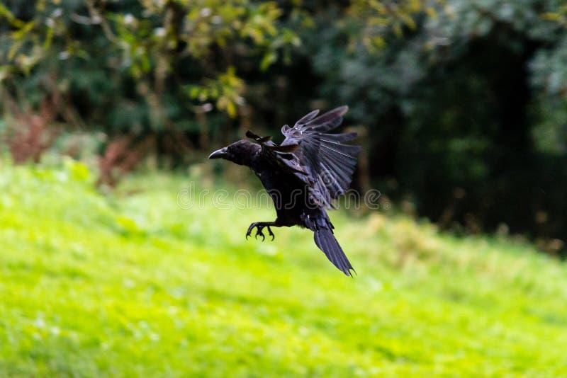 Download Ворона летания на запачканной предпосылке E Стоковое Фото - изображение насчитывающей нерезкости, поле: 81812648
