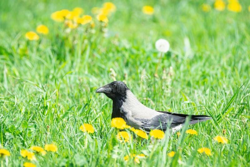 Ворона идя через траву стоковое изображение