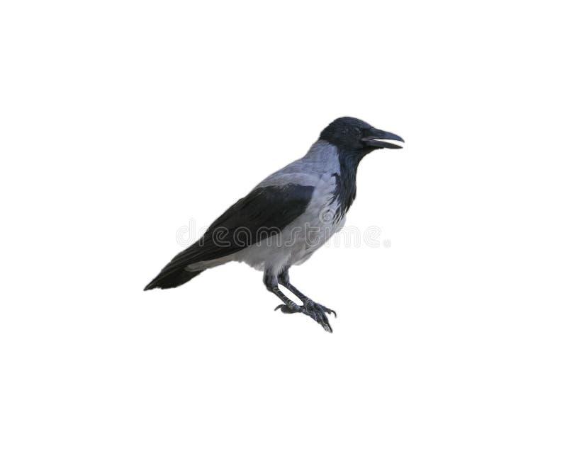 Ворона изолированная на белизне от взгляда со стороны стоковое изображение rf
