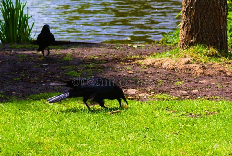 Ворона крадя еду от newborn уток младенца стоковые изображения rf